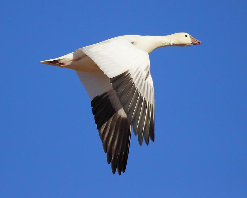 IMG_6727 Ross's Goose