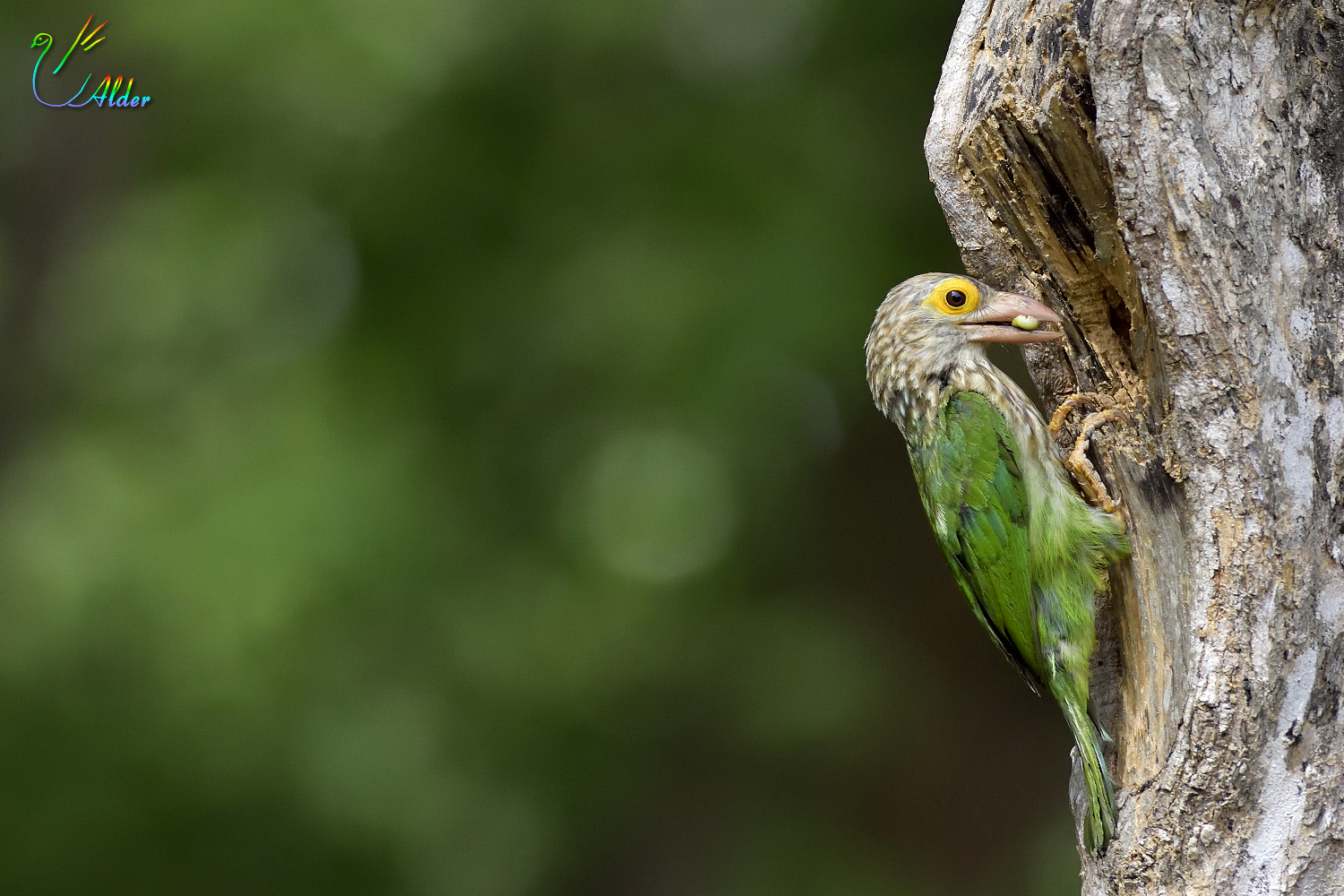 Lineated_Barbet_6488