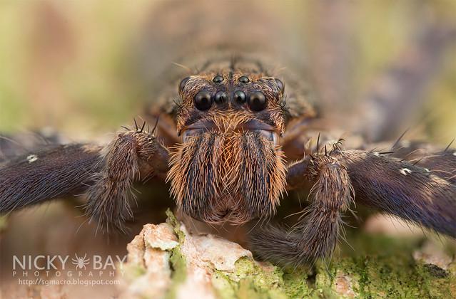 Huntsman Spider (Heteropoda lunula?) - DSC_1733