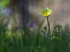 Pulsatilla alpina ssp apiifolia