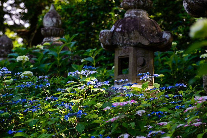 大神山神社 紫陽花 2016.6-17