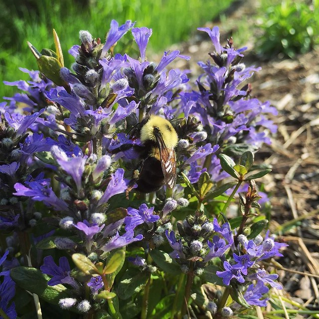 Bee bumbling busily between bungleweed blossoms. 🌸🐝 #bumblebee
