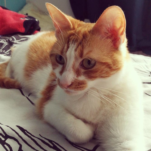This little cutie has been living with us for nearly 6 months now. I'm so happy she is doing so well with us 😻  #meeshathecat #meeshaisawesome #meesha #kittycuddles #catsareawesome #catsofig #catstagram #catsofinstagram #catsagram