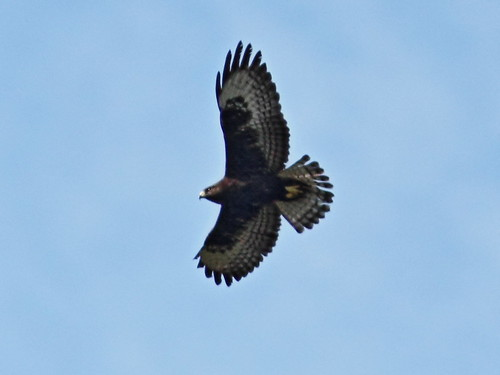 Short-tailed Hawk dark morph 4-20131023