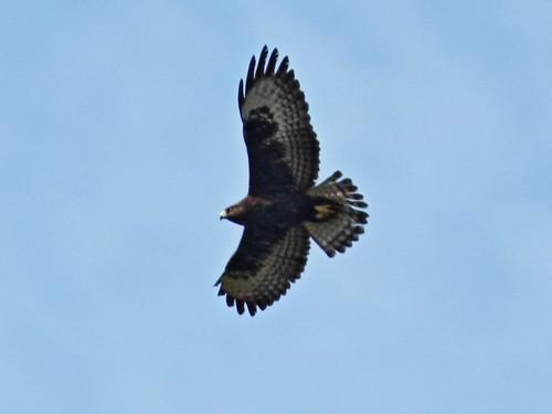 Short-tailed Hawk dark morph 4-20131023