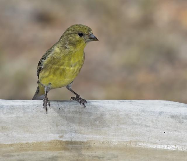 Lesser Goldfinch-B 7D2_270616