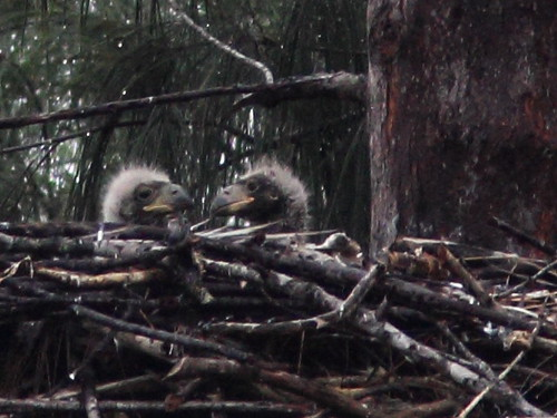Bald Eagle chicks P Piney 13 and 12 interact 5-20140131