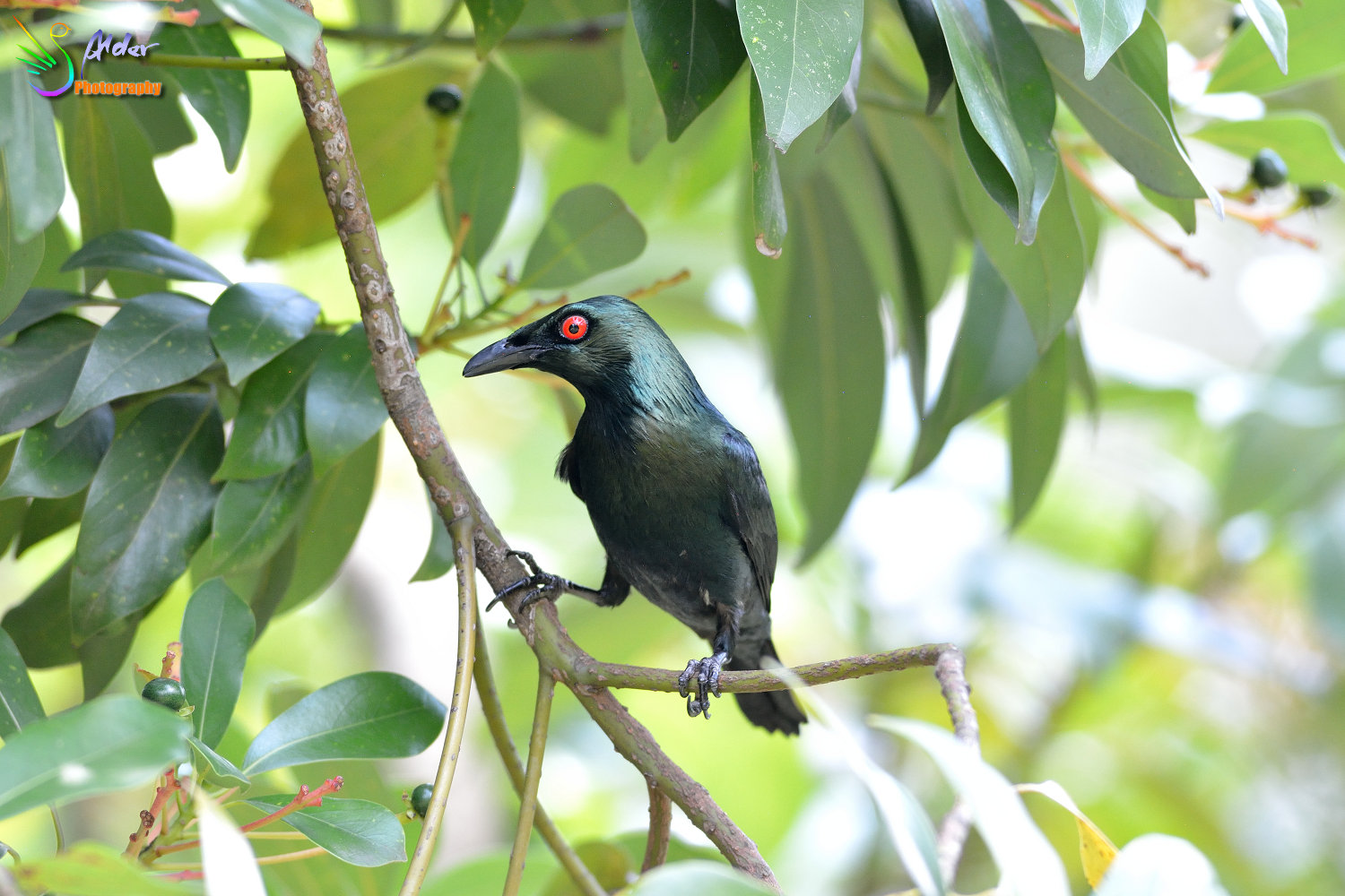 Asian_Glossy_Starling_7616