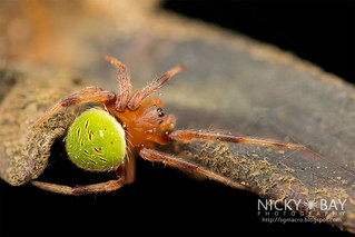 Orb Web Spider (Neoscona sp.) - DSC_5399