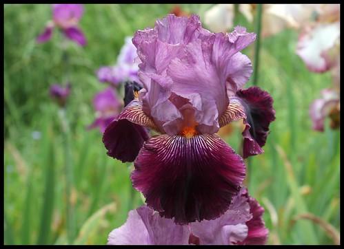 Iris 'Vin Nouveau' - Richard Cayeux 1996 27553759271_239dfe8c99