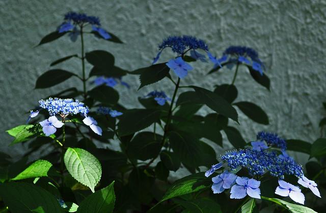 Hydrangea macrophylla serrata 'Bluebird' (2)