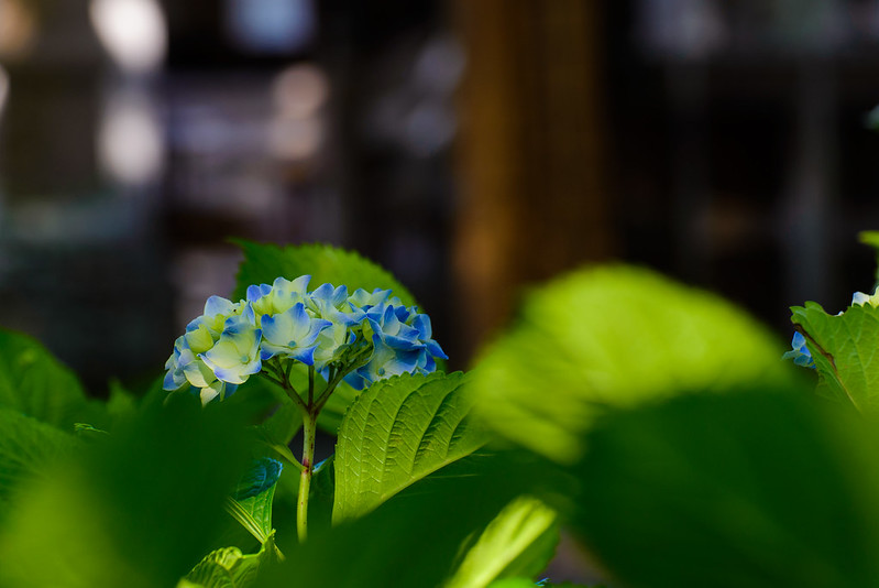 大神山神社 紫陽花 2016.6-20