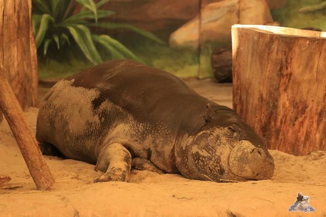 Eisbär Fiete im Zoo Rostock 04.06.2016   0284