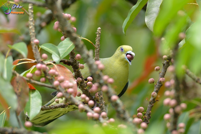 Japanese_Green_Pigeon_8635