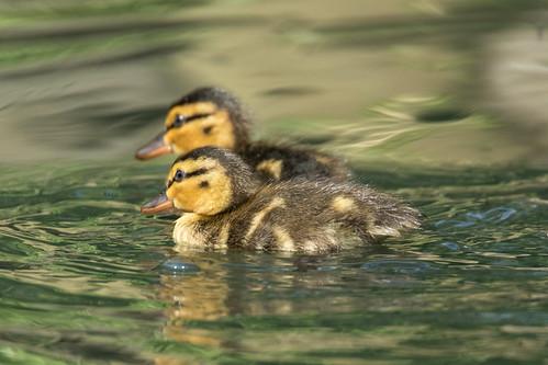 Mallard Chicks