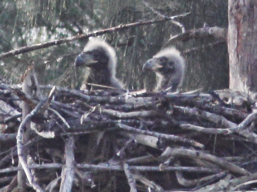 Bald Eagle eaglets P Piney 12 and 13 2-20140201