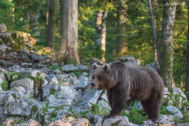 Brown bear 7 - Slovenia