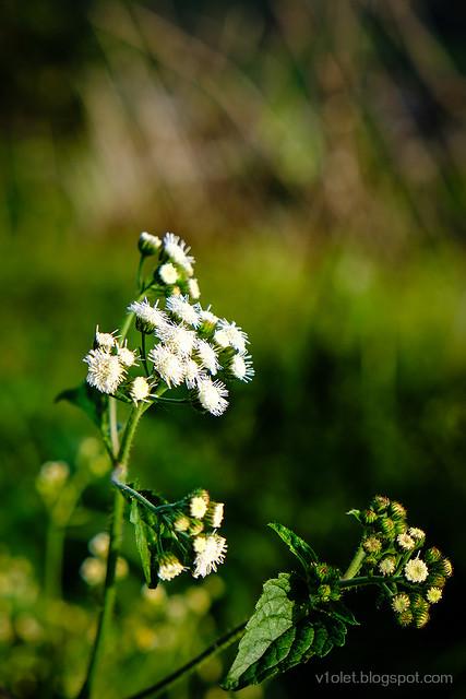 bunga putih3-0153rw