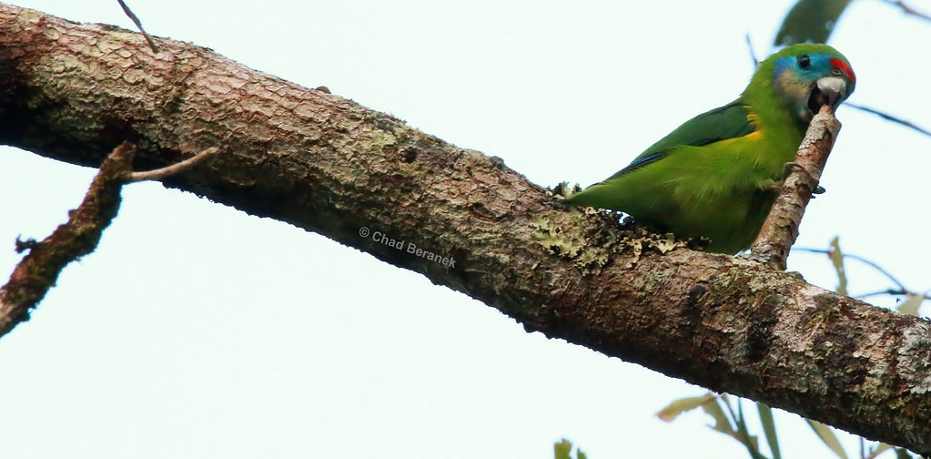 Double-eyed Fig-Parrot (Cyclopsitta diophthalma)