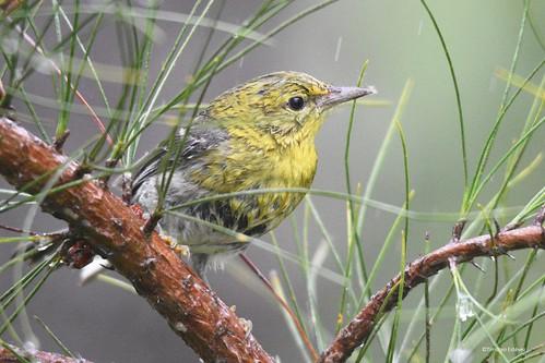 Cigüita del Pinar - Pine Warbler (Setophaga pinus) Entre pino y lluvia.