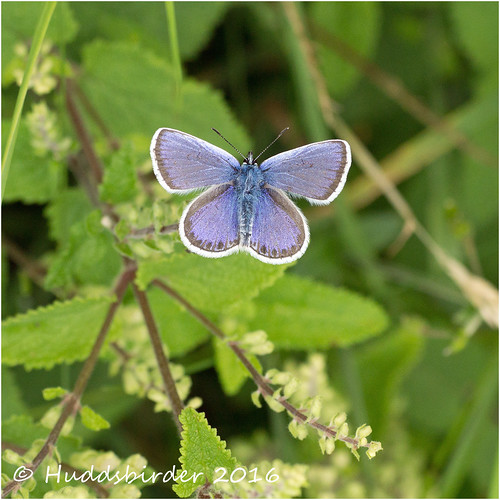 Silver Studded Blue Male