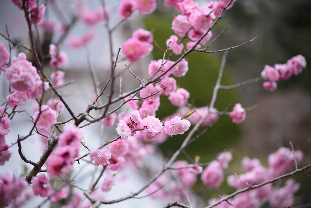 ume blossoms 1