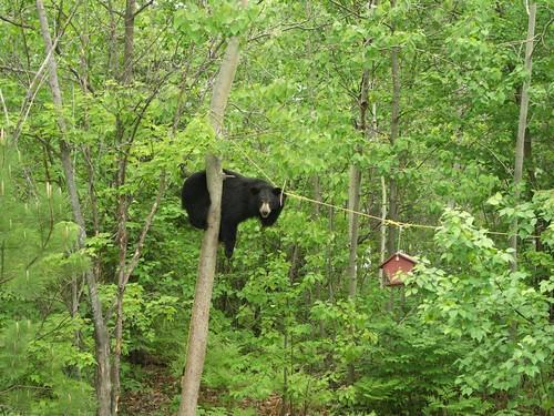 Long Lake Black Bear | Gila National Forest | Flickr