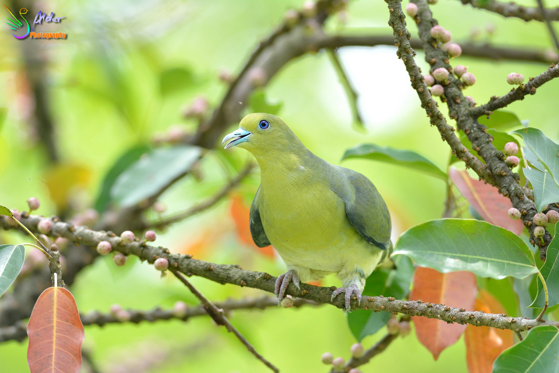 Japanese_Green_Pigeon_8710
