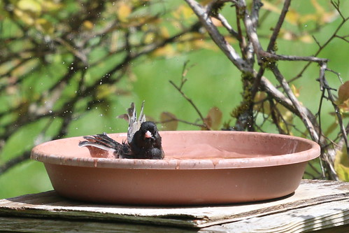 Junco in the bird bath