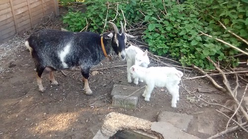 goat kids June 16 (13)