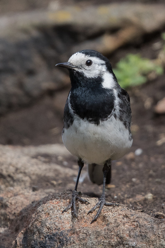 Pied Wagtail Isle of May,Scotland 2016