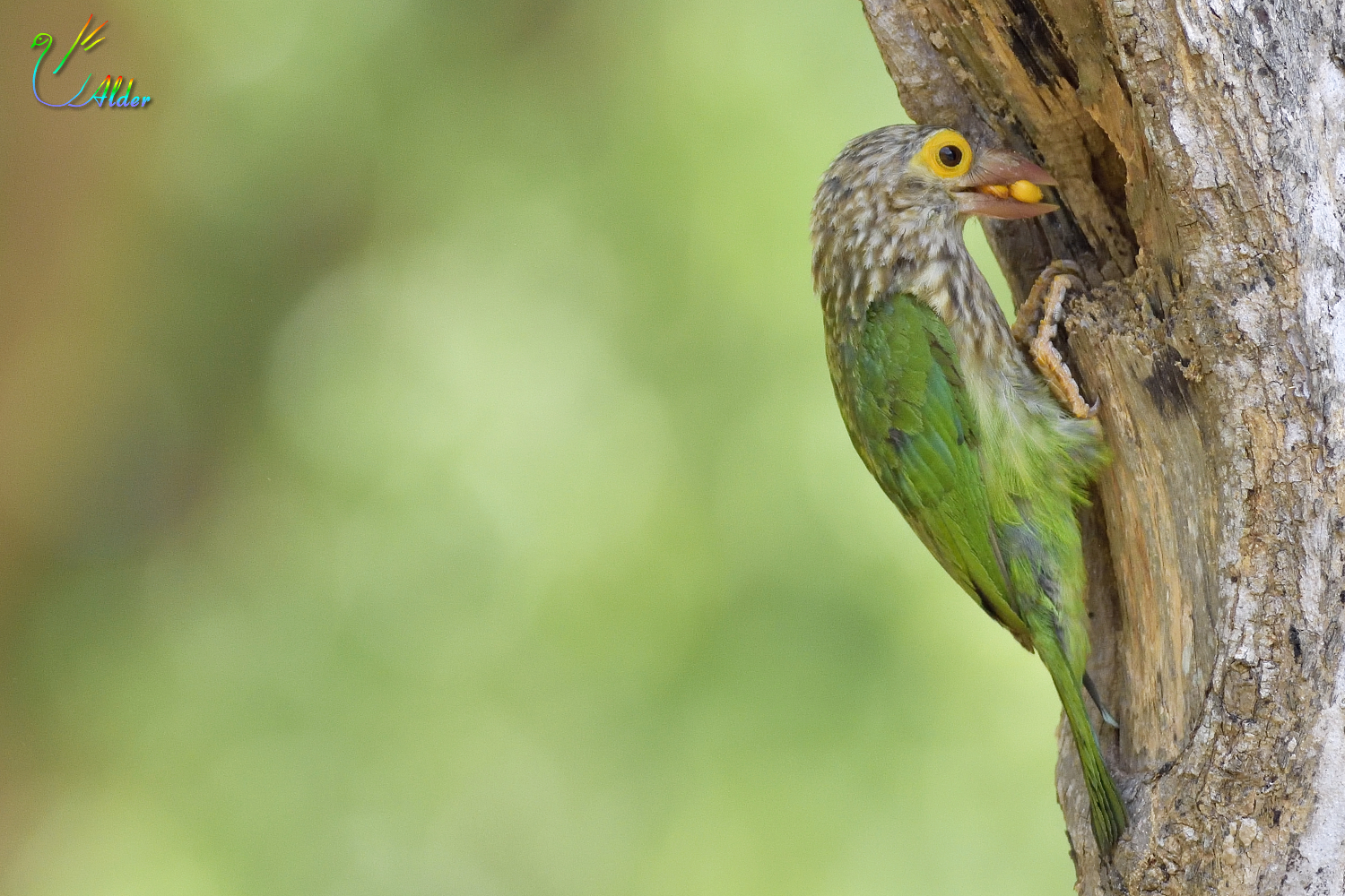 Lineated_Barbet_7125