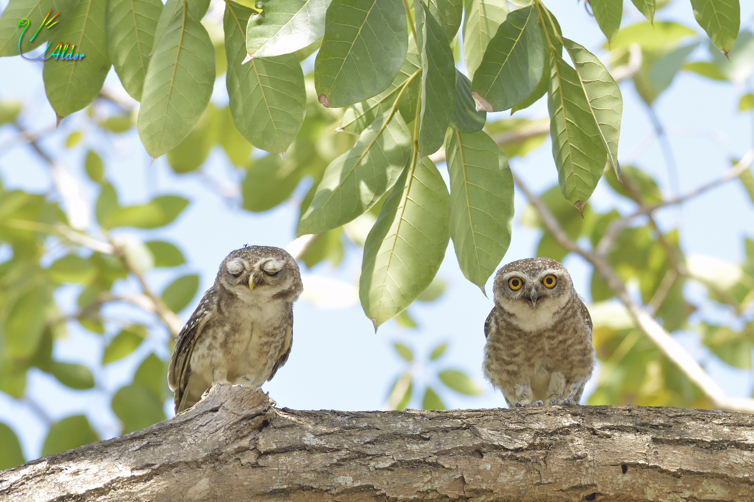 Spotted_Owlet_4661