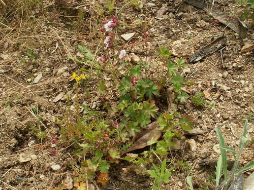 Geranium x cantabrigiense 'Biokovo' 27096403543_e78eb72151