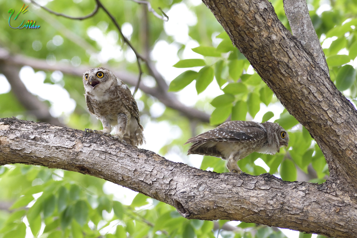 Spotted_Owlet_6059