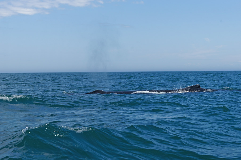 Whale In Bay Of Fundy