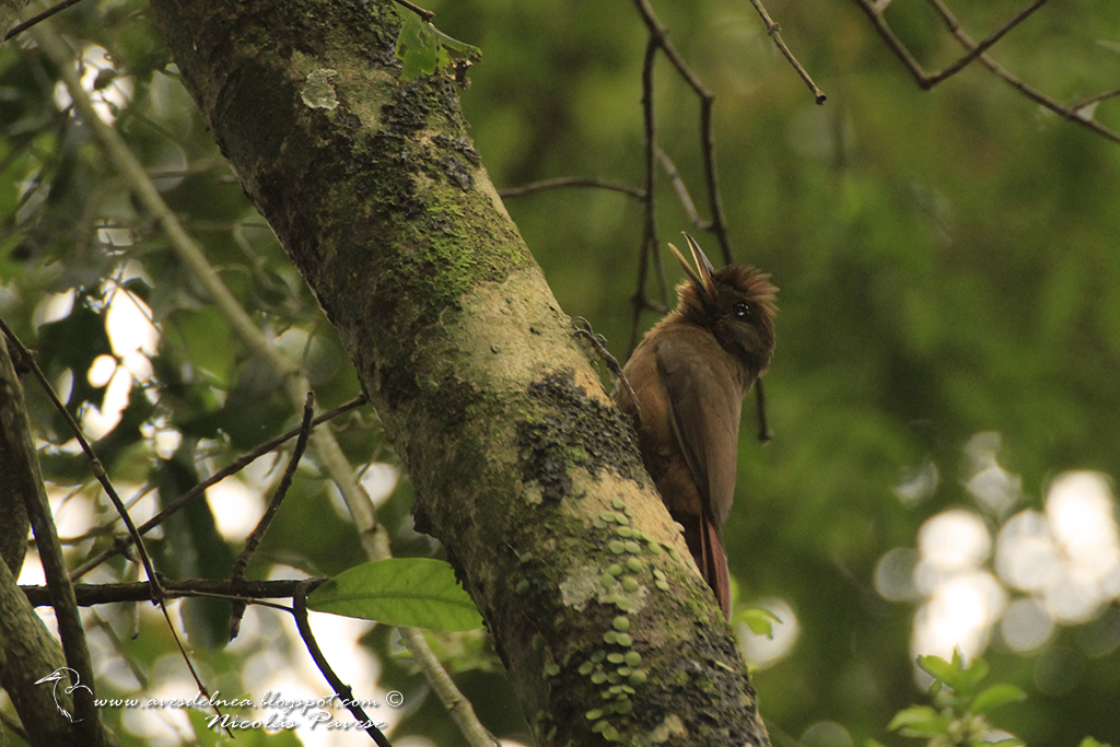 Arapasú (Plain-winged Woodcreper) Dendocincla turdina