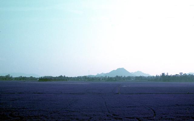 Purple Rice Paddies