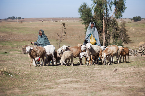 Tezera a women farmer gets help from her 10 year old daughter in keeping her sheep