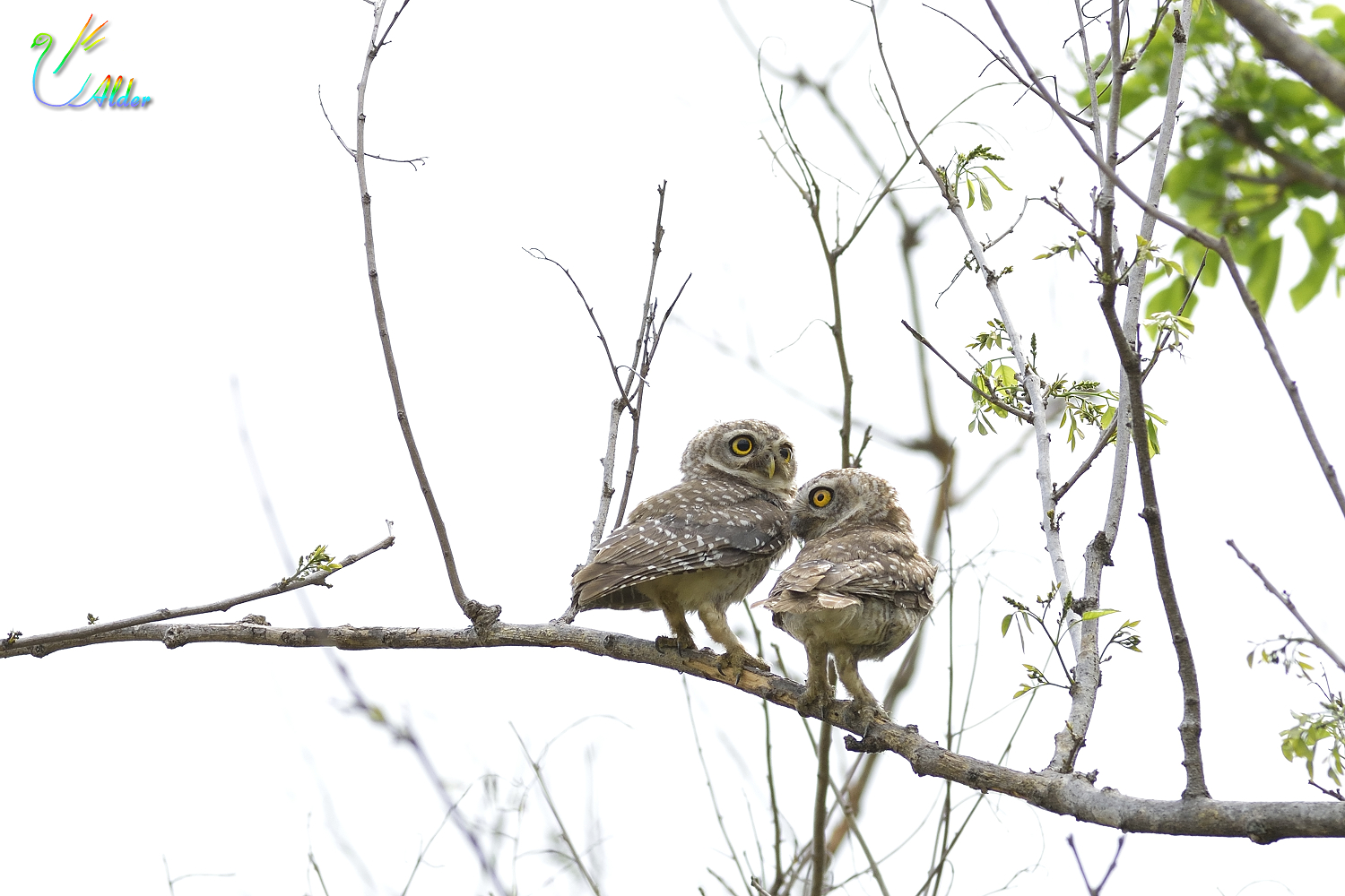 Spotted_Owlet_5989