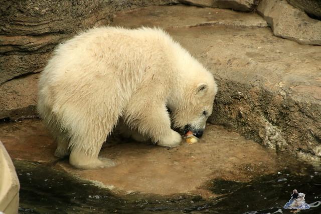 Eisbär Lili im Zoo am Meer 15.05.2016  178