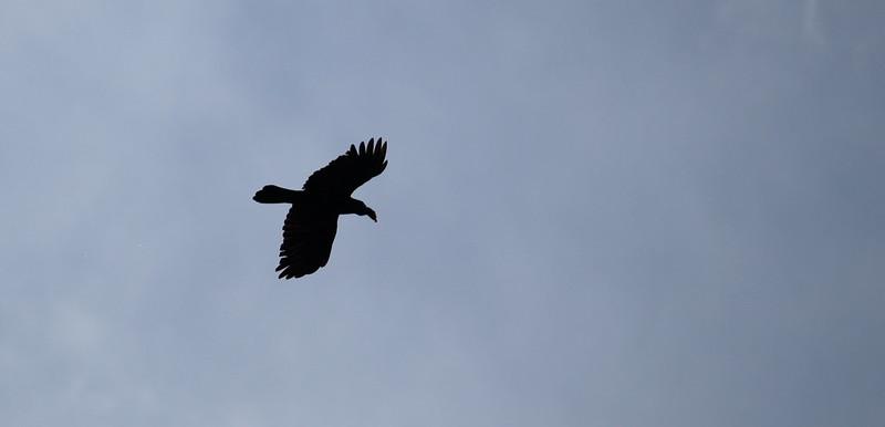 Backlit Hawk In Flight