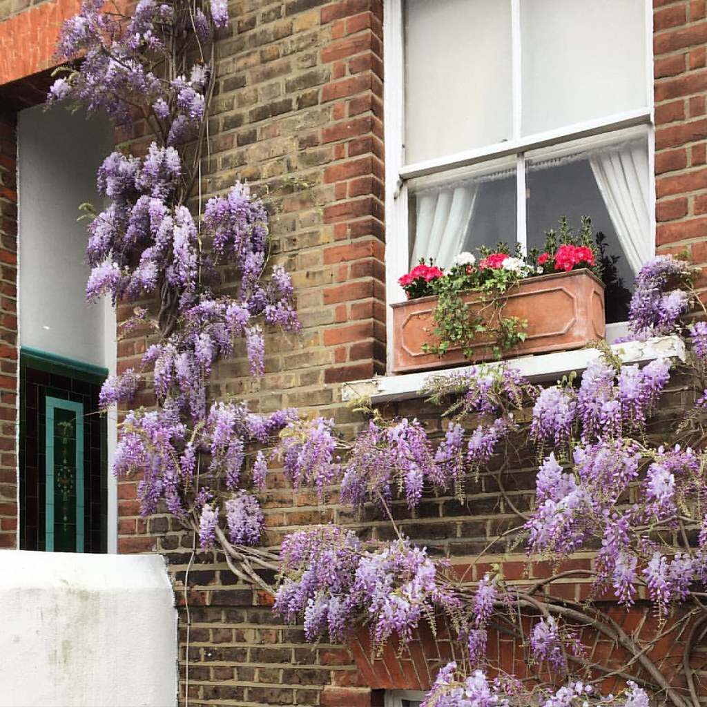 Seasonal Bloom #wisteria #window