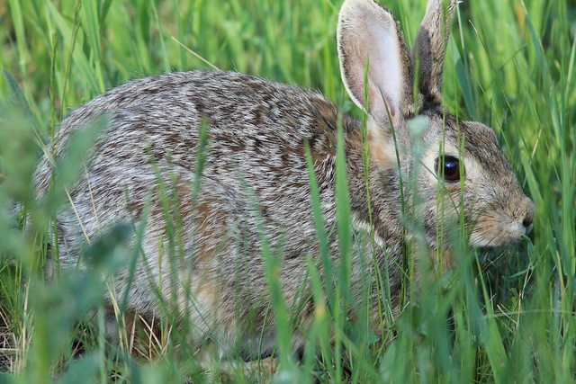 Cottontail Rabbit 20160617