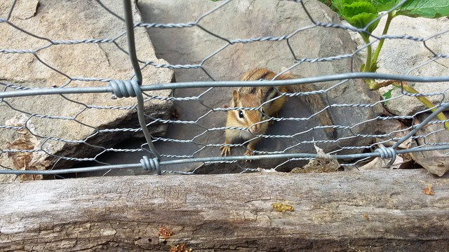 Chipmunk, cute but destructive by Eve Fox, the Garden of Eating, copyright 2016