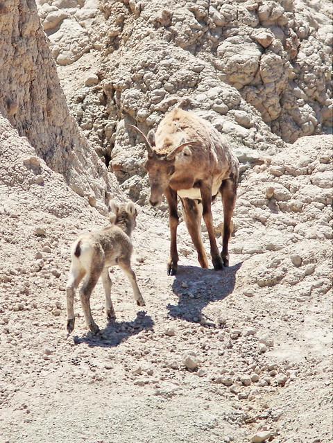 Bighorn lamb comes to mama 2-20160618