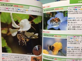ニホンミツバチとセイヨウミツバチの違い。学研「危険・有害生物」図鑑より