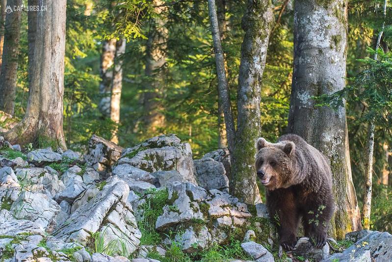 Brown bear 6 - Slovenia