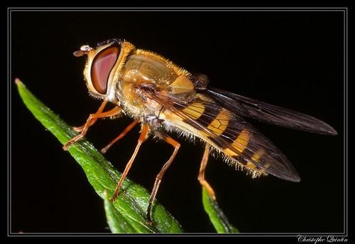 Syrphus vitripennis femelle