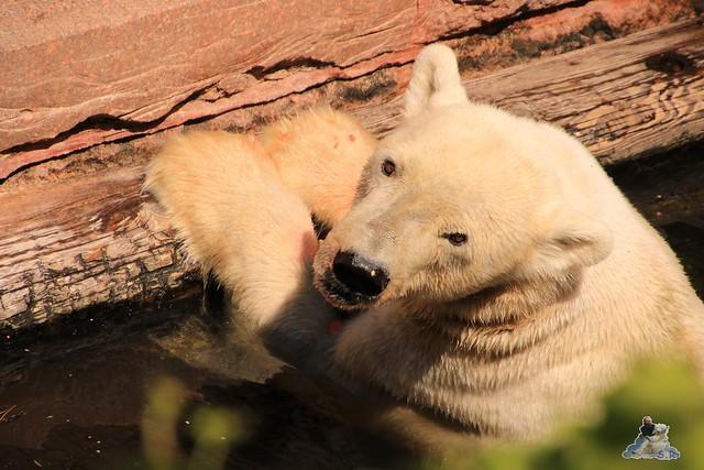 Eisbär Fiete im Zoo Rostock 04.06.2016   0223
